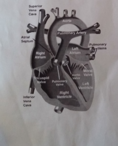 This is a medical description of what a healthy heart looks like.