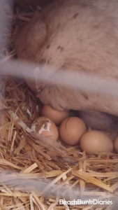 Hedwig started brooding so we allowed her to raise babies.  She is inspecting a hatching chick!