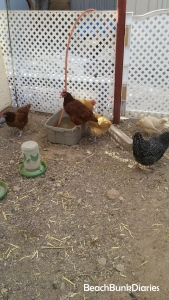 chickens1a